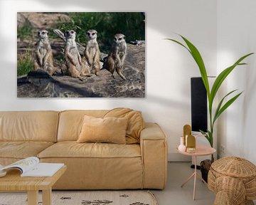 De nombreux suricates se sont réunis. Les suricates (Timon), animaux africains mignons, regardent av sur Michael Semenov