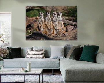 Une entreprise forte, le groupe forme un système. Les suricates (Timon), animaux africains mignons,  sur Michael Semenov