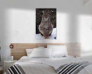 Een mooie en trotse wilde boskat Lynx zit rechtop en kijkt met heldere ogen. Op de sneeuw met een do van Michael Semenov