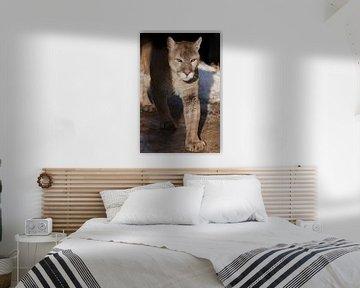 Ein sonnenbeschienener Puma geht in Nahaufnahme vorwärts, eine orange-gelbe Großkatze mit grünen Aug von Michael Semenov
