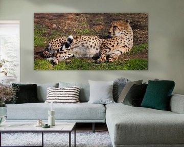 Im grünen Frühlingsgras liegt ein fauler Gepard mit orangefarbener Haut, der von der Sonne angestrah von Michael Semenov