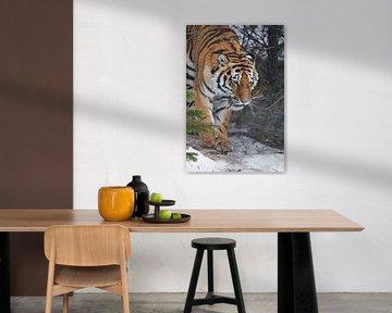 Tiger im Wald. Amur-Tiger (Sibirischer Tiger) zwischen Tannenbäumen in Winter-Nahaufnahme, kraftvoll von Michael Semenov