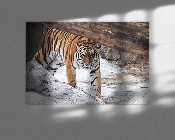 Der Tiger kommt plötzlich hinter einem umgestürzten Baum hervor und schaut Sie an. Die mächtige und  von Michael Semenov