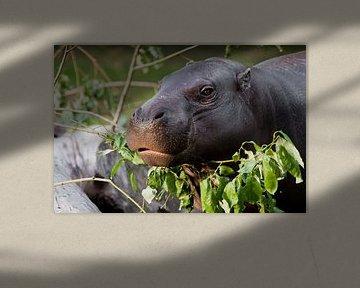 Niedliche Nilpferdmündung in Nahaufnahme, Augen auf grünem Hintergrund. Das Zwergnilpferd (Pygmäen-N von Michael Semenov