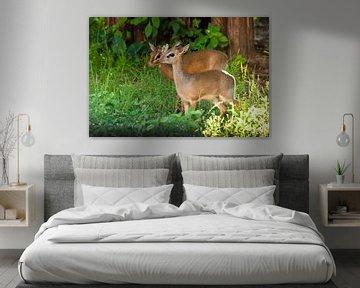 Süßes Paar. Kirk's Dik-Dik - ist eine kleine, in Ostafrika heimische Antilope auf grünem Hintergrund von Michael Semenov