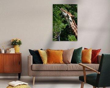Der Hals der Giraffe in Nahaufnahme, das Tier verwöhnt sich mit saftig grünem Laub von einem Baum, l von Michael Semenov