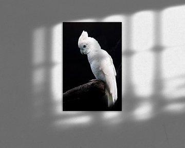 Ein trauriger großer weißer Papagei auf schwarzem Hintergrund sitzt auf einem Stock in einem gackern von Michael Semenov