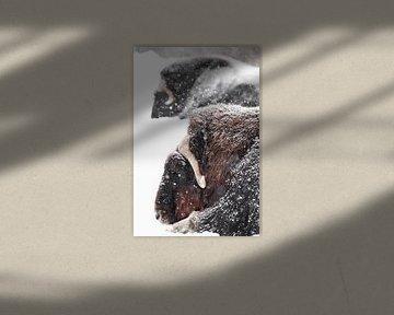 Krachtige gehoornde hoofden van twee muskusossen close-up. harige muskusossen onder zware sneeuwval  van Michael Semenov