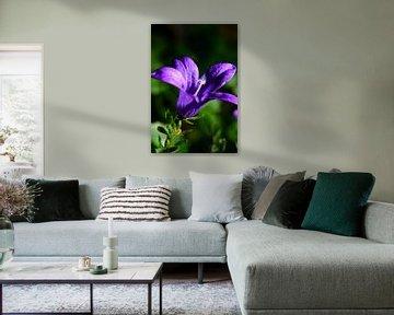 Violette Gartenblume in Blüte von Gerard de Zwaan