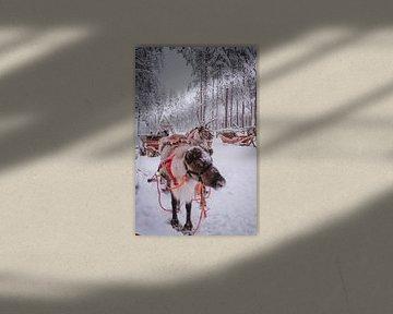 Rendieren Fins Lapland van Suzanne De Boer