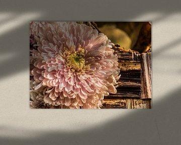 Chrysantheme von Martine Dignef