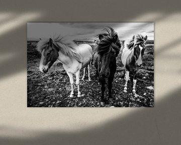 Islandpferde von Daniela Beyer