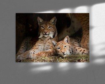 Zwei Luchse (wahrscheinlich Freunde) ruhen sich ruhig aus, aber der Blick ist ein verschlagener, dun von Michael Semenov