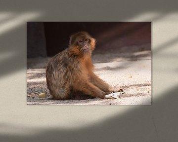 Berberaap : Ouwehands Dierenpark van Loek Lobel