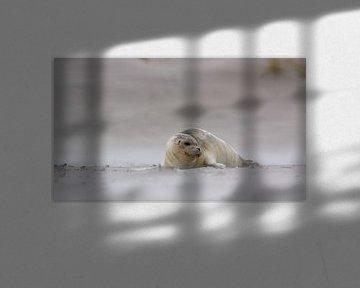 Zeehond in de zandstralen van Foto's van ChrisTettero.nl
