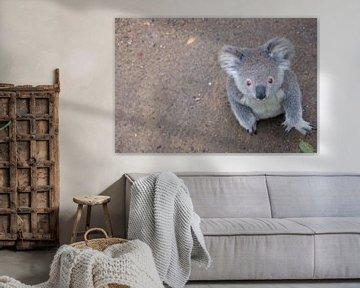 Der Koala mit dem fragenden Blick von Erwin Blekkenhorst