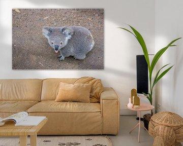 Der Koala streckt Ihnen seine Zunge entgegen