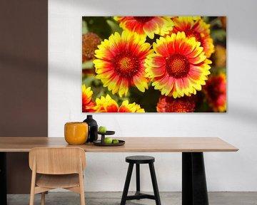 Kokardenblumen, Papageienblumen, Malerblumen von Torsten Krüger
