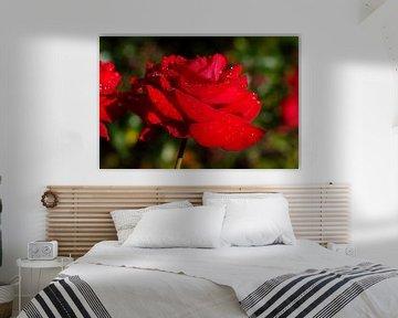 Rote Edelrose von Torsten Krüger