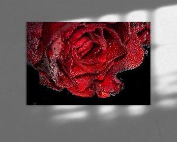 Une rose rouge sur Bernardine de Laat