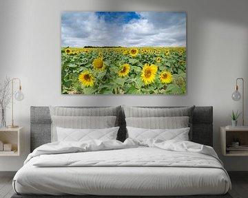 Ein Feld voller Sonnenblumen