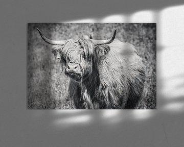 Schottischer Highlander mit Grashalm, Highlander-Kuh von Michèle Huge