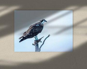 Fischadler von Hennie Zeij