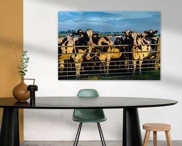 Koeien achter het hek