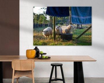 Schafe im Abendlicht von Ger Beekes