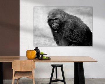 Barbary macaque and juice apple van René Koert