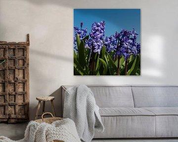 Hyacint von Wim de Lange