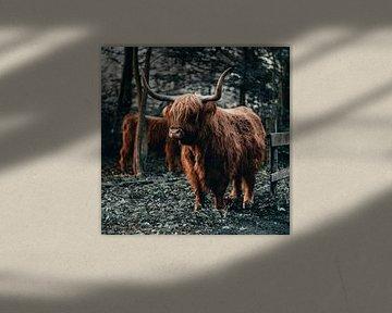 Schottischer Hochländer von Rick Wiersma