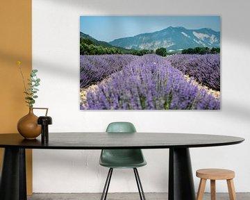 Les champs de lavande en fleurs dans la Drôme sur Marjo Kusters