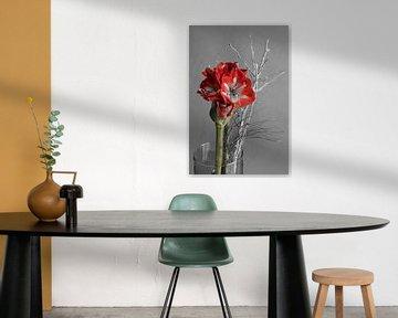 Blüte der Amaryllis von Gottfried Carls