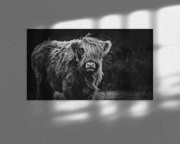 Nahaufnahme eines schottischen Highlander-Kalbs in den Niederlanden in Schwarz-Weiß von Maarten Oerlemans