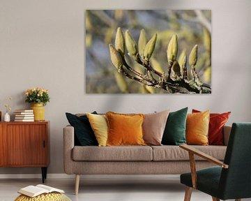 Magnolien-Knöpfe von Geert Naessens