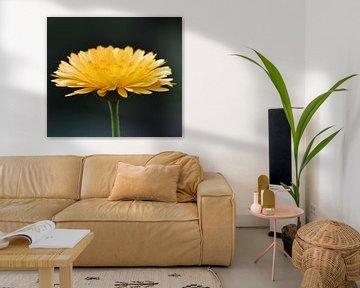 Ringelblume, die Ringelblume (Calendula officinalis) von J..M de Jong-Jansen