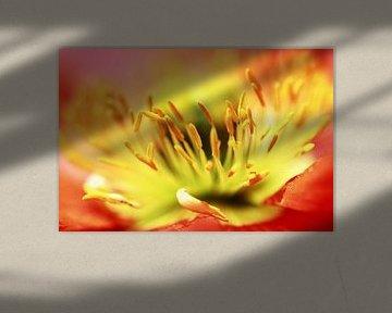 Sorry... (bloem, lente, rood, geel, klaproos) van Bob Daalder