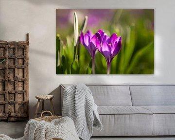 Blühende violette Krokusse von Evelien Oerlemans