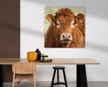 Portret van een Limousin koe