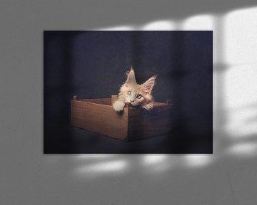Creme-Maine Coon-Kätzchen im Bakkie von mirka koot
