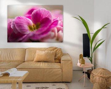 Zartrosa Primel obconica-Blüten von J..M de Jong-Jansen