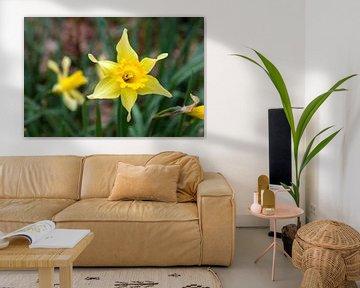 Gele narcissen in de lente van Nel Diepstraten