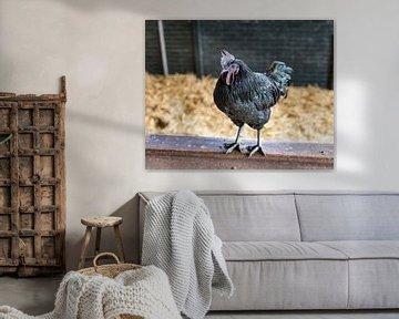 schwarzer Hahn auf einem Zaun von Compuinfoto .