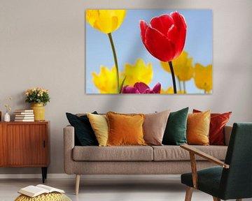 schöne blühende Tulpen mit blauem Hintergrund von Angelique Nijssen