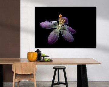 Niederländische Frühlingsblume. von AGAMI Photo Agency