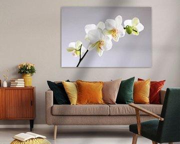 Weiße Orchideen von Karina Baumgart