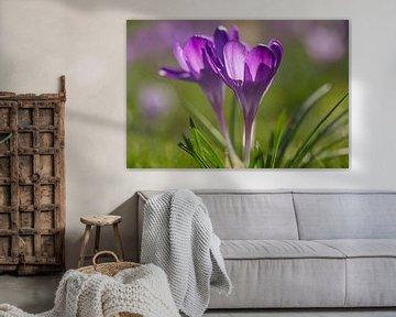 Violetter Krokus von Irene Damminga
