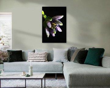 Passionsblume vor schwarzem Hintergrund von Karina Baumgart