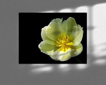 Mellow Yellow (Gelbe Tulpe) von Caroline Lichthart